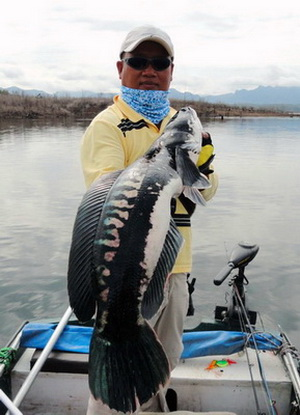 Snakehead Fish Pictures, Snakehead Fish, Snakehead Fish Informations, Snakehead Fish Photos, Snakehead Fish Fishing